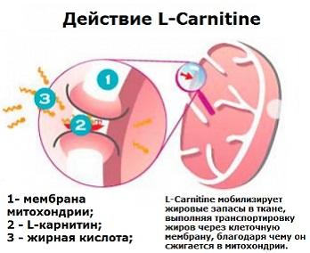 действие Л-карнитина